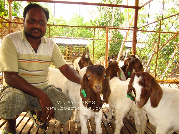 goat wholesale price