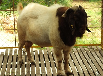 About Boer Goats Vijay Farms