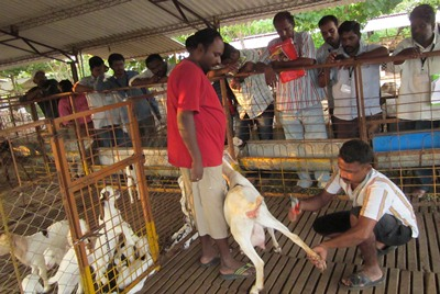 VIJAY FARMS | Premier Goat Farm in India (Tamilnadu) - Boer and