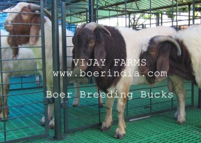 boer-bucks-in-line
