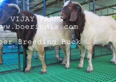 breeding-buck